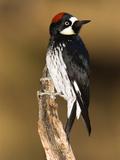 Acorn Woodpecker (Melanerpes Formicivorus) Female, Madera Canyon, Arizona Fotografie-Druck von Tom Vezo/Minden Pictures