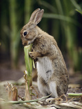 European Rabbit (Oryctolagus Cuniculus) Feeding on Corn Stalk, Germany Photographic Print by Heidi & Hans-Juergen Koch/Minden Pictures