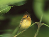 Tufted Flycatcher (Mitrephanes Phaeocercus) Perched on a Branch, Costa Rica Photographic Print by Tom Vezo/Minden Pictures