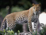 Leopard (Panthera Pardus) Female,, Moremi Wildlife Reserve, Botswana Photographic Print by Gerry Ellis
