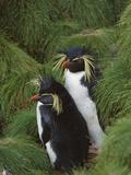 Rockhopper Penguin (Eudyptes Chrysocome) Pair, Gough Island, South Atlantic Photographic Print by Tui De Roy/Minden Pictures