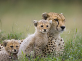 Cheetah (Acinonyx Jubatus) Mother and Eight to Nine Week Old Cubs, Maasai Mara Reserve, Kenya Fotografisk tryk af Suzi Eszterhas/Minden Pictures