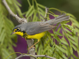 Canada Warbler (Wilsonia Canadensis) Male Perched on Branch, Rio Grande Valley, Texas Fotografie-Druck von Tom Vezo/Minden Pictures