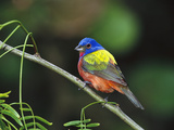 Painted Bunting (Passerina Ciris) Perching, Texas Photographic Print by Tom Vezo/Minden Pictures