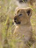 African Lion (Panthera Leo) Five to Six Week Old Cub, Vulnerable, Masai Mara Nat'l Reserve, Kenya Photographic Print by Suzi Eszterhas/Minden Pictures