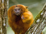 Golden-Headed Lion Tamarin (Leontopithecus Rosalia) with Baby, Atlantic Forest, Brazil Fotografie-Druck von Luciano Candisani/Minden Pictures
