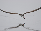 Black Skimmer (RynchopsNiger) Flying, Merrit Island Nat'l Wildlife Refuge, Florida, Sequence 1 of 2 Photographic Print by Scott Leslie/Minden Pictures