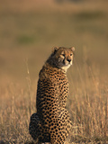 Cheetah (Acinonyx Jubatus), Masai Mara National Reserve, Kenya Photographic Print by Gerry Ellis