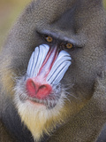 Mandrill (Mandrillus Sphinx) Male Portrait, Native to Africa Photographic Print by Ingo Arndt/Minden Pictures