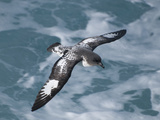 Pintado Petrel (Daption Capense) Flying, Drake Passage, Antarctica Photographic Print by Tui De Roy/Minden Pictures