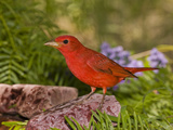 Summer Tanager (Piranga Rubra) Male, Rio Grande Valley, Texas Photographic Print by Tom Vezo/Minden Pictures