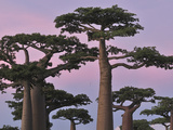 Grandidier's Baobab (Adansonia Grandidieri) Forest at Sunset Near Morondava, Madagascar Photographic Print by Thomas Marent/Minden Pictures