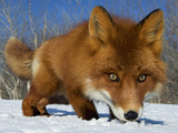 Red Fox (Vulpes Vulpes) Smelling Snow, Kamchatka, Russia Photographic Print by Sergey Gorshkov/Minden Pictures