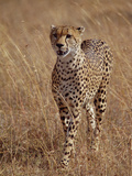 Cheetah (Acinonyx Jubatus), Walking on Savannah, Masai Mara National Reserve, Kenya Photographic Print by Gerry Ellis