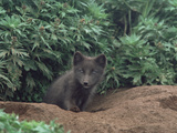 Arctic Fox (Alopex Lagopus) Pup at Burrow Entrance, North America Photographic Print by Gerry Ellis