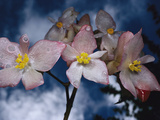Orchid (Begonia Santoslimae) Wet with Rain, Atlantic Forest Ecosystem, Brazil Photographic Print by Mark Moffett