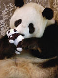 Giant Panda (Ailuropoda Melanoleuca) Learning Parenting Skills with Toy Baby, China Photographic Print by Katherine Feng