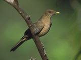 Clay-Colored Robin (Turdis Grayi) Perched on a Branch, Costa Rica Photographic Print by Tom Vezo/Minden Pictures