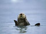 Sea Otter (Enhydra Lutris), Prince William Sound, Alaska Photographic Print by Suzi Eszterhas/Minden Pictures