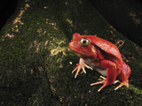 Tomato Frog (Dyscophus Antongilii), Rare, Only Found in the Town of Maroantsetra, Madagascar Photographic Print by Thomas Marent/Minden Pictures