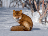Red Fox (Vulpes Vulpes) Sitting on Snow, Kamchatka, Russia Photographic Print by Sergey Gorshkov/Minden Pictures