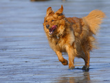Retriever (Canis Familiaris) Running on Beach, South Shore, Nova Scotia, Canada Photographic Print by Scott Leslie/Minden Pictures