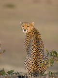 Cheetah (Acinonyx Jubatus) Female, Maasai Mara Reserve, Kenya Photographic Print by Suzi Eszterhas/Minden Pictures