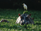 Hippopotamus (Hippopotamus Amphibius) with Cattle Egret (Bulbulcus Ibis) on Head Photographic Print by Gerry Ellis