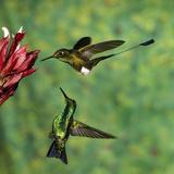 Booted Racket-Tail (OcreatusUnderwoodii), Western Emerald (ChlorostilbonMelanorhynchus) Hummingbird Photographic Print by Tom Vezo/Minden Pictures