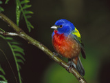 Painted Bunting (Passerina Ciris) Male Perching on Branch, Texas Photographic Print by Tom Vezo/Minden Pictures
