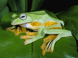 Reinwardt&#39;s Flying Frog (Rhacophorus Reinwardtii) Showing Webbed Feet, Asia Fotografie-Druck von Michael and Patricia Fogden/Minden Pictures