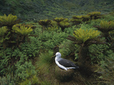 Yellow-Nosed Albatross (Diomedea Chlororhynchos) Nesting, Gough Island, South Atlantic Photographic Print by Tui De Roy/Minden Pictures