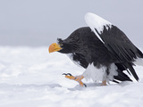 Steller's Sea Eagle (Haliaeetus Pelagicus) Walking on Snow, Kamchatka, Russia Photographic Print by Sergey Gorshkov/Minden Pictures