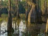 Cypress Swamp, Pine Log State Forest, Florida Photographic Print by Theo Allofs/Minden Pictures