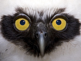 Jung Owl Portrait, Yavari River, Amazon Basin, Peru Photographic Print by Ingo Arndt/Minden Pictures