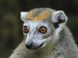 Crowned Lemur (Eulemur Coronatus) Female, Ankarana Special Reserve, Madagascar Photographic Print by Thomas Marent/Minden Pictures