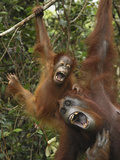 Orangutan (PongoPygmaeus) Female and Baby Calling, Camp Leaky, Tanjung Puting Nat'l Park, Indonesia Photographic Print by Thomas Marent/Minden Pictures