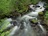 Spring Vine Maple Leaves over Still Creek, Mt Hood National Forest, Oregon Photographic Print by Gerry Ellis