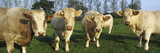 Domestic Cattle (Bos Taurus) Charolais Herd in Pasture, Picardie, France Photographic Print by Cyril Ruoso