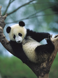 Giant Panda (Ailuropoda Melanoleuca) Endangered, One Year Old Cub in a Tree Photographic Print by Cyril Ruoso