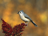 Tufted Titmouse (Parus Bicolor) Perching, Long Island, New York Photographic Print by Tom Vezo/Minden Pictures