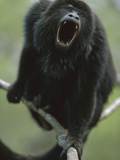 Black Howler Monkey (Alouatta Caraya) Male Calling, Pantanal, Brazil Photographic Print by Theo Allofs/Minden Pictures