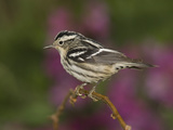 Black-And-White Warbler (Mniotilta Varia) Female Perched on Branch, Rio Grande Valley, Texas Photographic Print by Tom Vezo/Minden Pictures
