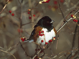 Eastern Towhee (Pipilo Erythrophthalmus) Male Perched in Bittersweet Bush, Long Island, New York Photographic Print by Tom Vezo/Minden Pictures