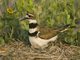 Killdeer (Charadrius Vociferus) Incubating Eggs on Nest Amid Vegetation, North America Photographic Print by Tom Vezo/Minden Pictures