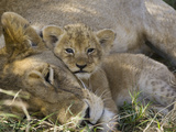 African Lion (Panthera Leo) Mother Resting with Cub, Vulnerable, Masai Mara Nat'l Reserve, Kenya Fotografisk tryk af Suzi Eszterhas/Minden Pictures