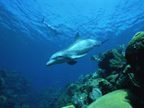 Bottlenose Dolphin (Tursiops Truncatus) Swimming over Coral Reef, Honduras Fotografiskt tryck av Konrad Wothe