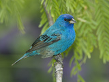 Indigo Bunting (Passerina Cyanea) Male Perched on Branch, Rio Grande Valley, Texas Photographic Print by Tom Vezo/Minden Pictures