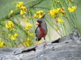 Pyrrhuloxia (Cardinalis Sinuatus) Perching on Log, Rio Grande Valley, Texas Photographic Print by Tom Vezo/Minden Pictures