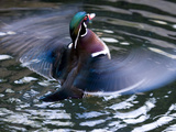 Wood Duck (Aix Sponsa) Flapping Wings in Water, North America Fotografie-Druck von Tom Vezo/Minden Pictures